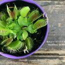 【食虫植物】ハエトリソウハエトリグサ3号ポット