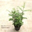 樹木苗【2個セット】シマトネリコ3号ポット観葉植物シンボルツリーインテリアグリーン庭木
