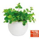 アクアテラポット ラウンド 10.5タイプ 観葉植物全10種 シュガーバイン ペペロミア アイビー ワイヤープランツ プミラ ピレア他