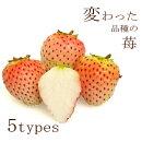イチゴ苗ちょっと変わった品種3号ポット苗おいCベリー・カレンベリー・麗紅(れいこう)・ももか・桃薫(とうくん)