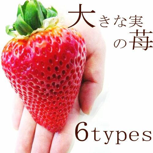 いちご苗 大きい実になる品種 3号ポット苗 アイベリー・あかねっ娘・紅ほっぺ・もういっこ・おおきみ・ふさのか