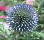 ●stエキノプスプラチナムブルー3号ポット宿根草【イングリッシュガーデン】