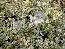 美しい斑入り葉!!【イングリッシュガーデン】シレネ ユニフローラドレッソバリエガータ3号ポ...