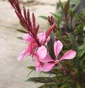 白蝶草 (ガウラ) ピンク 3号ポット苗
