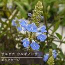 宿根サルビアボックセージ3.5号ポット宿根草【イングリッシュガーデン】