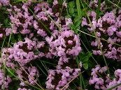 【L】【香りのハーブ】イブキジャコウソウピンク花3〜3.5号ポット【グランドカバー】【タイム類】