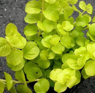 リシマキア オーレア 2.5〜3号ポット苗ヌンムラリアグランドカバー カラーリーフ 寄せ植え