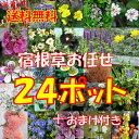 【セット】【送料無料】宿根草おまかせ24ポットセット+嬉しいガーデングローブ肥料のおまけ付き...
