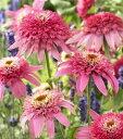 【イングリッシュガーデン】エキナセア 八重咲きピンクダブルデライト3,5号ロングポット苗