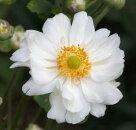 秋明菊シュウメイギク八重咲き白花4号ポット600苗【宿根草】
