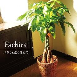 パキラ 鉢植え7号鉢