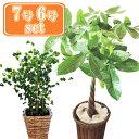 (観葉)パキラ7号+ベンジャミンバロック6号茶カゴセット【あす楽】 パキラ ベンジャミン バロック 初心者 大型 セット 観葉植物 開店祝 お祝い ギフト インテリア FKTK