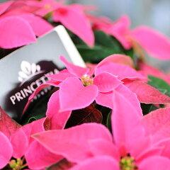 """""""プリンセス""""のような華やかな印象花ことばは「思いやり」ポインセチア「プリンセチア」ピン..."""