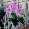 胡蝶蘭 3本立ち ピンク 開店 開業 祝い 花 ギフト 送料無料