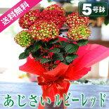 【送料無料】母の日ギフト花あじさいルビーレッド5号鉢鉢植え鉢花紫陽花アジサイ2017母の日プレゼント贈り物フラワーflowergift