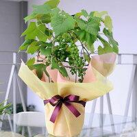 ブドウの鉢スチューベン