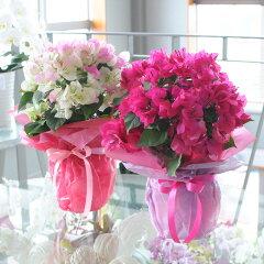送料無料!ピンクが鮮やかなブーゲンブレア♪ 日頃の感謝の気持ちを込めて☆花キューピット加盟...