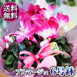 【送料無料】シクラメンプルマージュ6DX鉢花【フラワーギフト】【エーデルワイス花の贈り物】【