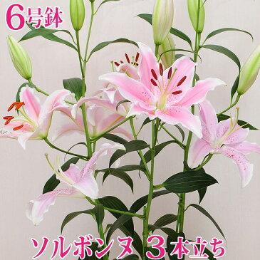 母の日2019 花 ギフト 大輪のピンクユリ鉢植え ソルボンヌの鉢花 3本立ち 6号鉢 送料無料 産地直送 プレゼント 贈り物 百合 ゆり 5月8日〜12日の間のお届け