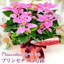 鉢花 ギフト プリンセチア 5号鉢 送料無料 贈り物 鉢 クリスマス 誕生日 お祝い 宅配 プレゼント ポインセチア鉢植え ピンク系