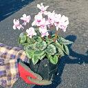 八重咲ミニシクラメン「チモ」うつむいて膨らみ始めたつぼみが可愛い。八重咲きだから花も長く...