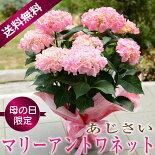 【送料無料】母の日ギフトあじさい紫陽花アジサイ_マリーアントワネット