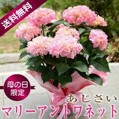 母の日 ギフト 鉢花 マリーアントワネット 5号鉢