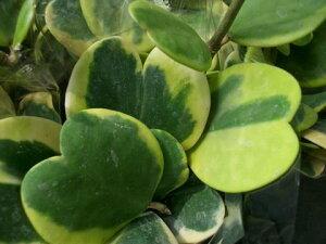 ホヤカーリー・ 多肉植物