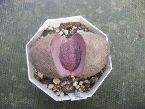 メセン・ プレイオスピロス・ 多肉植物