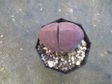 【奇妙なメセン・紫帝玉】2.5号・プレイオスピロス・観葉植物・多肉植物