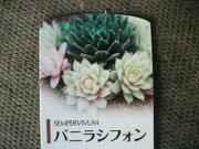センペルビューム・バニラシフォン 多肉植物