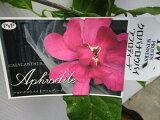 【クロバナロウバイ・アフロディーテ】5号ポット苗・香り・庭木・鉢植え・耐寒性落葉低木