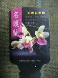 【名護蘭】3号ポット苗・素朴な山野草・古典植物・ナゴラン天然記念物