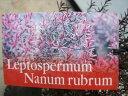 【レプトスペルマム・ナニュームルブルム】(3.5号)常緑低木・庭木・カラーリーフ【02P13Dec14】