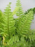 【斑入りネフロレピス】【タイガー】(5号苗)観葉植物・シダ