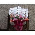 高品質ミニ胡蝶蘭スーパーアマビリス誕生日・記念日・御祝い・展示会・楽屋花・御供えなどに