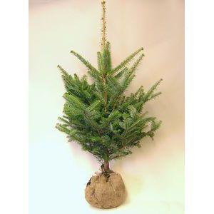 モミの木 【もみの木高さ150cm】 クリスマスツリーに最適!