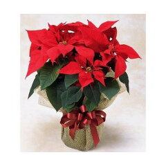 高品質なポインセチアを送料無料でをお届けします。クリスマスの贈り物やご自宅に!クリスマス...
