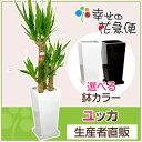 観葉植物 ユッカ(青年の木)7号角高陶器鉢(白黒)高さ約1.1m【開店...
