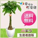 観葉植物 パキラ8号プラスチック鉢(鉢カバー付き) 高さ約1.1m【大...