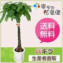 観葉植物 パキラ8号プラスチック鉢 約1.1m【大型 開店祝い 新築祝...