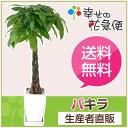 観葉植物 パキラ8号角陶器鉢 高さ約1.1m【大型 開店祝い 新築祝い...