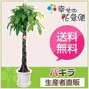 観葉植物 パキラ10号プラスチック鉢 高さ約1.5〜1.6m【大型 開...
