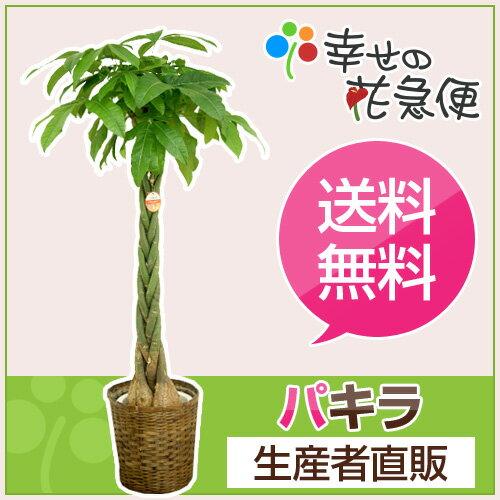観葉植物 パキラ10号プラスチック鉢(茶カゴバンブー) 高さ約1.5〜1.6m【大型 開店祝い 新築祝い 誕...