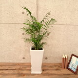 テーブルヤシ6号角高陶器鉢(白) 1鉢(プラスチック製受皿付)  高さ 約70cm