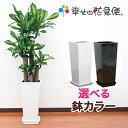 観葉植物 幸福の木8号角高陶器鉢(白黒) 高さ約1.3mドラ...