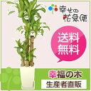 ◆予約販売 4月1日以降のお届け◆観葉植物 幸福の木8号角プラスチック...