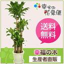 ◆予約販売 4月1日以降のお届け◆観葉植物 幸福の木10号プラスチック...