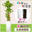 ◆予約販売 4月1日以降のお届け◆観葉植物 幸福の木8号角高陶器鉢(白...