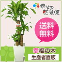 観葉植物 幸福の木7号角プラスチック鉢 高さ約1mドラセナ・マッサンゲ...